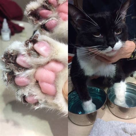 cat declawed declawing claws surgery cats kitten declaw infected paws infection botched almost rescue kittens he zoey place didn died
