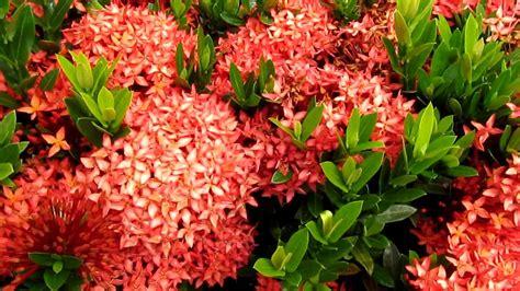 tropical flowering bushes tropical plants ixora flowers