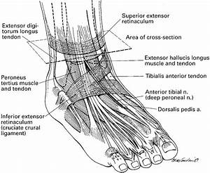 Diagram Showing The Tendons And Ligaments Of The Ankle And