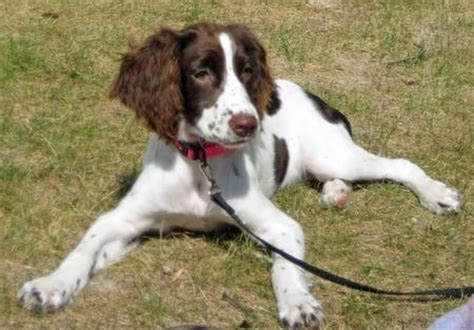 english springer spaniel daily puppy