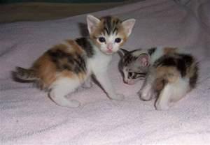 japanese cat follow the piper japanese bobtail cats