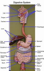Digestive Models