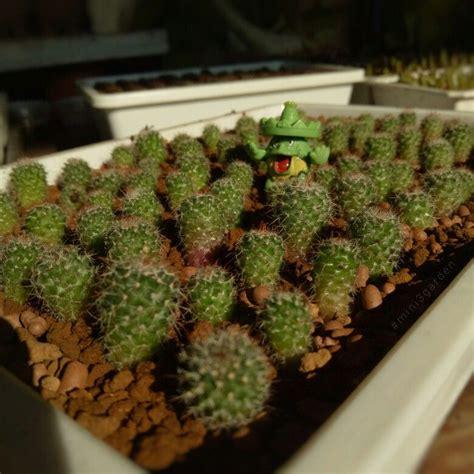 #babycactus #cactus ในปี 2021 | สวน, กุหลาบ, บอนไซ