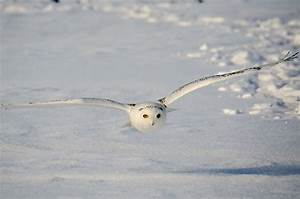Snowy Owl Facts for Kids - yourkidsplanet.com