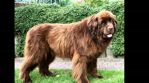 Beautiful Pictures Newfoundland Dog Breed