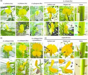 Floral Morphology And Flower Protection In Aeschynomene