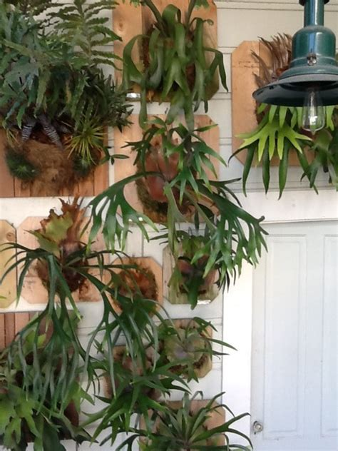 living wall  mounted staghorn ferns