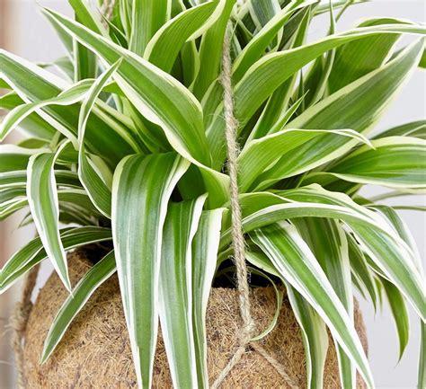 malas merawat tanaman tanaman hias gantung gampang
