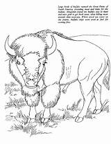 Coloring Buffalo Bison African Animals Printable Animal Realistic Native Sheet Adult Drawings Oregon Sheets Blm Geography Kentscraft Trail Schoolfamily Animalstown sketch template