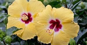 Hibiskus Pflege Zimmerpflanze : hibiskus pflege 5 tipps f r die perfekte bl tenpracht mein sch ner garten ~ A.2002-acura-tl-radio.info Haus und Dekorationen