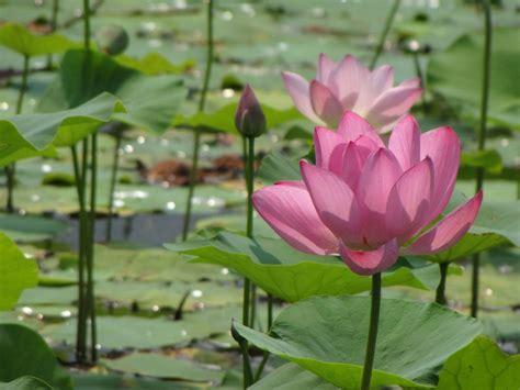 lotus planter et cultiver ooreka