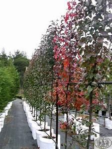 winter hill tree farm pear capital pyrus calleryana