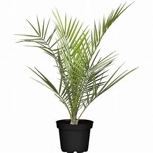 Kanarische Dattelpalme Kaufen : kanarische dattelpalme topf ca 19 cm phoenix ~ Lizthompson.info Haus und Dekorationen