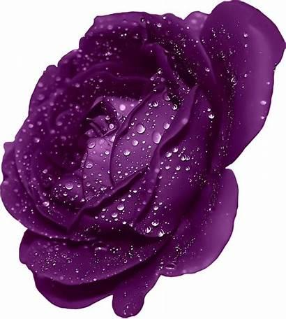 Purple Rose Clipart Dew Roses Transparent Flower