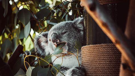 Download Wallpaper 1920x1080 Koala Animal Funny Tree