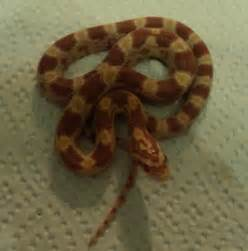 baby amel corn snake for sale burton upon trent