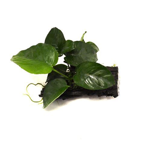anubias barteri var nana sur racine 10 15 cm plantes d aquarium plantes courtes de premier