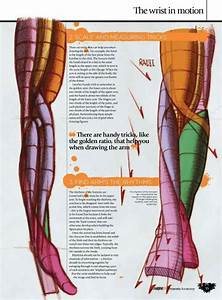 17 Best Images About Anatomy On Pinterest