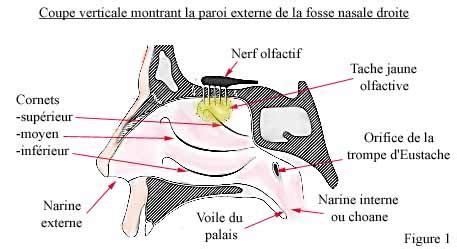 le nez et fonctionnement biologique
