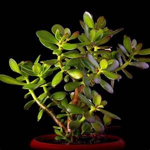 Plantes Grasses Intérieur : crassula minor plante grasse en pot de 23cm hauteur 40cm gamm vert ~ Melissatoandfro.com Idées de Décoration