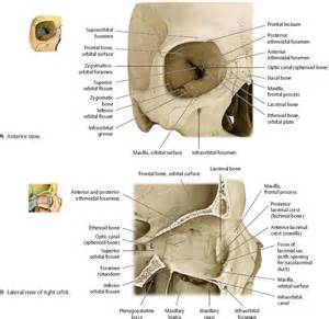 Eye Orbit Bone Anatomy