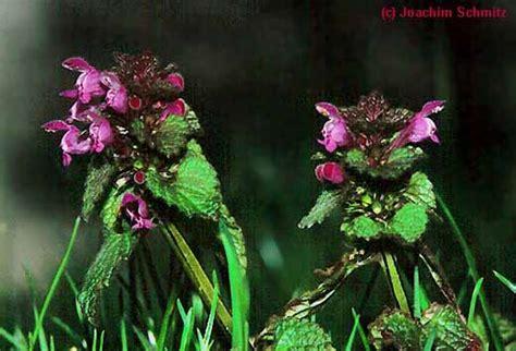 schmucklilie blüht nicht mercurialietum annuae