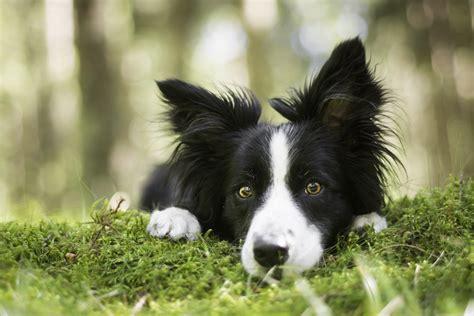 border collie dog face view moss hd wallpaper