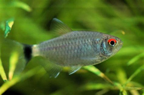 red eye tetra fish breed profile
