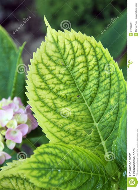 chlorosis   plants royalty  stock images image