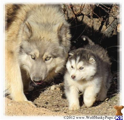 Wolf Dog Puppy For Sale Hybrid Puppies On Live Cam Daily