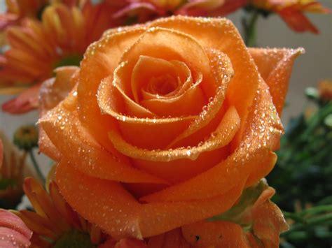 Beautiful Orange Roses Wallpapers by Flowers For Flower Orange Wallpapers