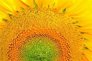 Sunflower macro by lalylaura on DeviantArt
