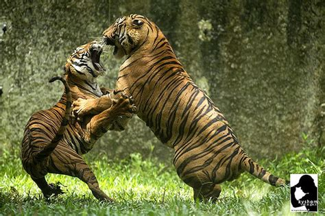 Tigers Fighting Early Research For Illustration