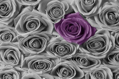 Roses  Purple And Grey  Wall Mural & Photo Wallpaper