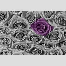 Roses  Purple And Grey  Wall Mural & Photo Wallpaper