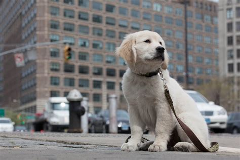 golden retriever puppy   york