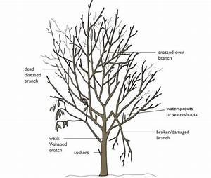 Pruning Greengage Trees