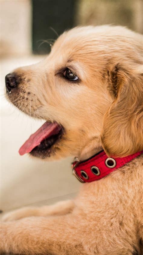 Desktop cutest dogs pics download. Golden retriever, cute puppy rest 1080x1920 iPhone 8/7/6/6S Plus wallpaper, background, picture ...