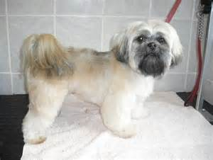 lhasa apso grooming style descriptions bing images