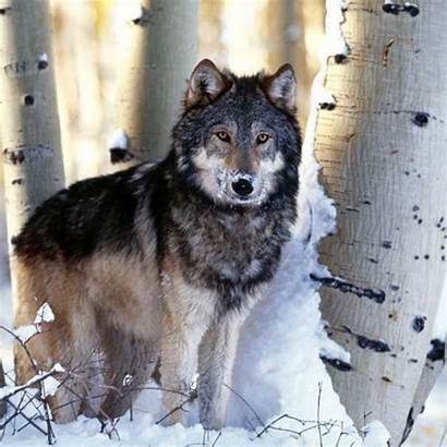 Grey Wolf Gray Facts Lupus Canis Wolves