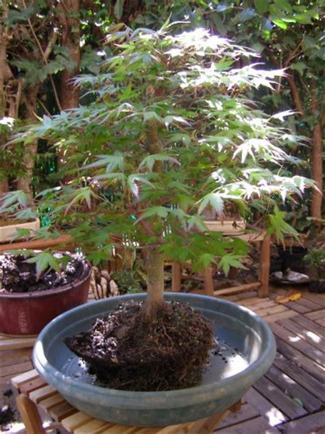 comment rempoter et pourquoi exemple avec un 233 rable du japon de bonsai 83