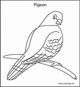 Pigeon Coloring Pages Colorings Bird Drawing Pigeons Farm Printable Quilt Birds Books Template Sketch Ws Getdrawings Printables Types sketch template