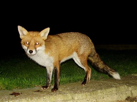 is it to own a fox in ohio pin everything what fox can say kwejkpl on pinterest