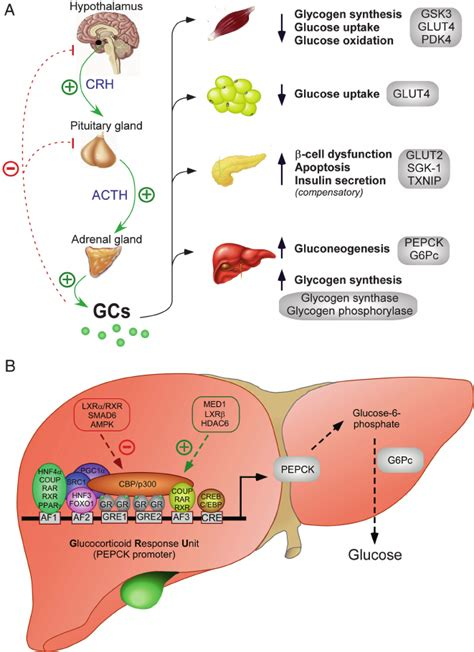 mechanisms   gcs regulate  body glucose