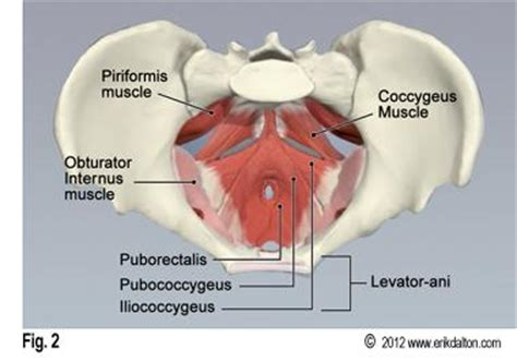 pelvic floor myalgia levator ani spasm wcs puerperium and related problems at of hong