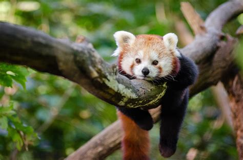 red panda panda  stock photo public domain pictures
