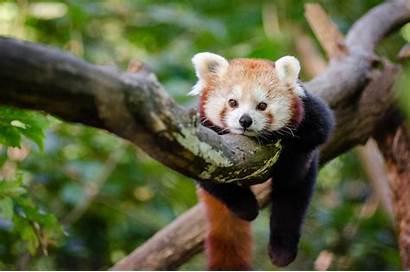 Panda Pandas Tree Wallpapers Hanging Sleeping Animals