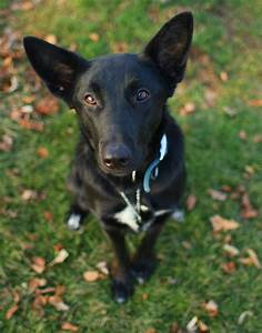 Found Black German Shepherd Mix - Houston SPCA - m5x.eu