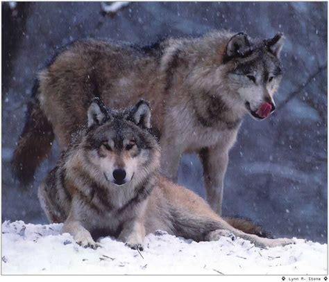le loupe de bureau le loup