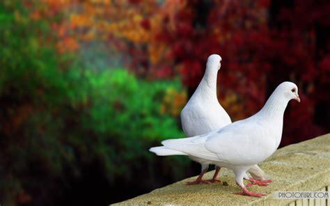 white pigeon  desktop wallpapers  wallpapers